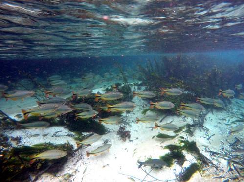 Piraputangas in the Rio Sucuri