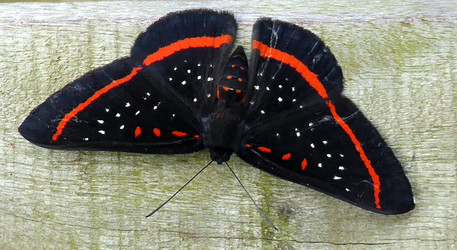 Can you identifify this beautiful insect