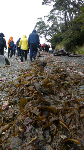 Kelp on beach en route to Aguila Glacier