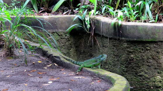 Iguana at Museu Goeldi