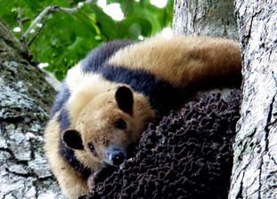 Tree-climbing anteater (Tamanduá Mirim) has a feast