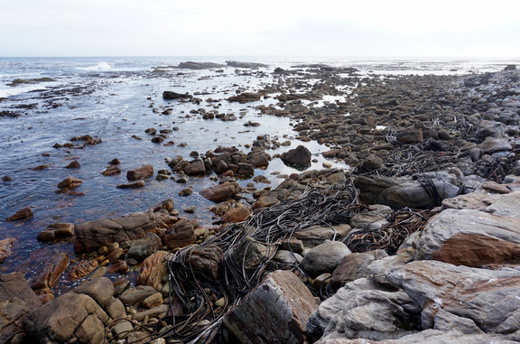 Kelp at the Cape of Good Hope