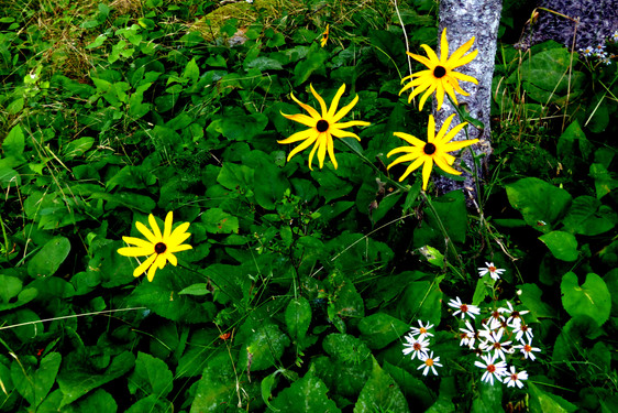 Purple Astors and Blackeyed Susans