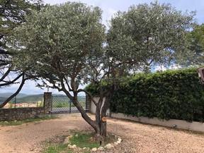 Taille d'olivier en coeur (début)