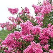 lilas-des-indes-indica.jpg