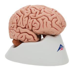 3B Scientific® Classic 5 Part Brain (1551173)