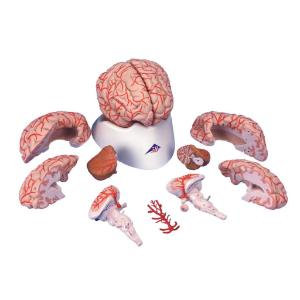3B Scientific® Vascular Brain Anatomy Model (1621357)
