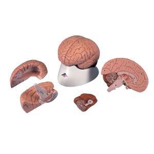 3B Scientific® Four Part Brain (1621354)