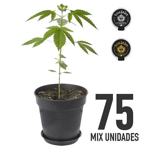 PLANTIN FEM AMERICANAS - MIX X75 UNIDADES