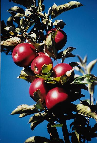 pommes ferme du bois vert