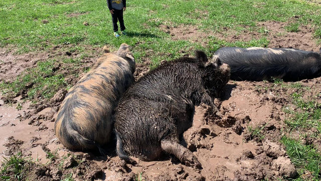 PIGS AND THEIR MUD