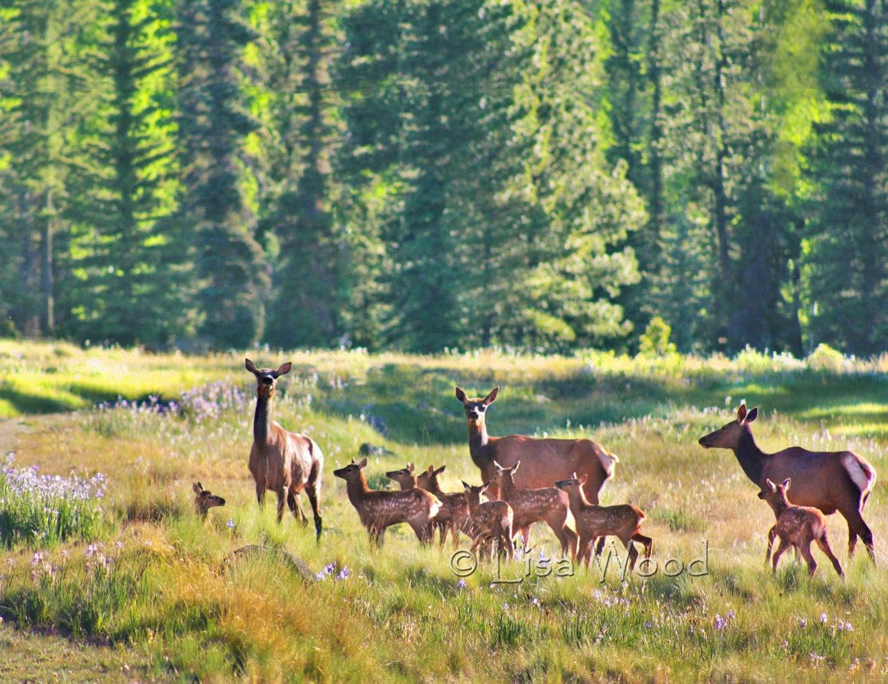 Elk Nursery