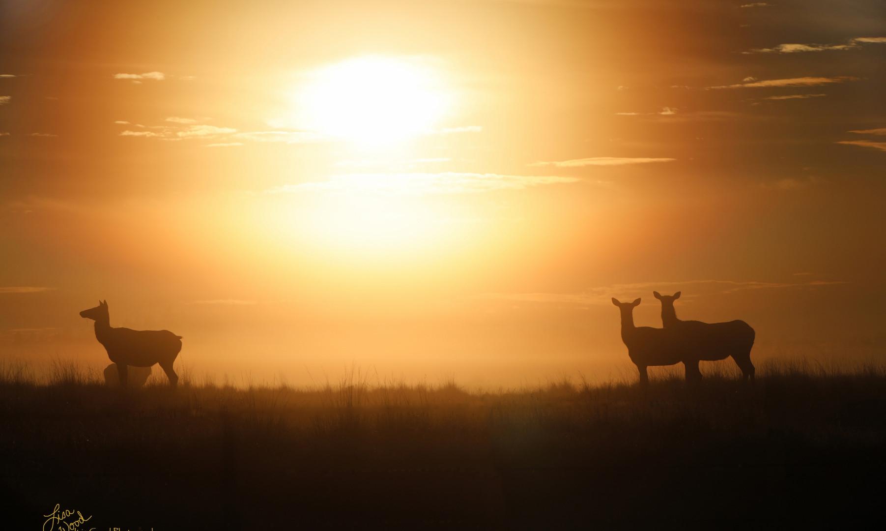 Elk at Sunrise.jpg