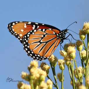 Queen Butterfly and sky (1024x1024) (102