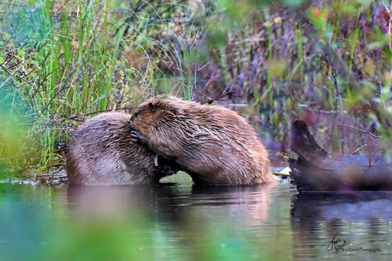 Beaver Love.jpg