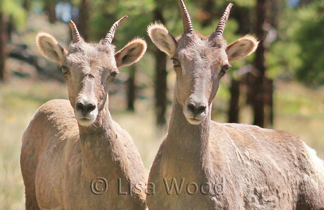 Bighorn Sheep Ewes cr (1280x1021) (1280x