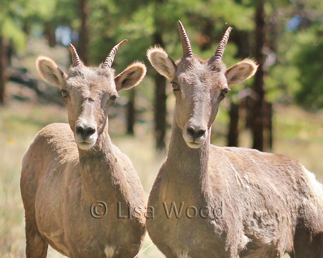 Curious BighornEwes