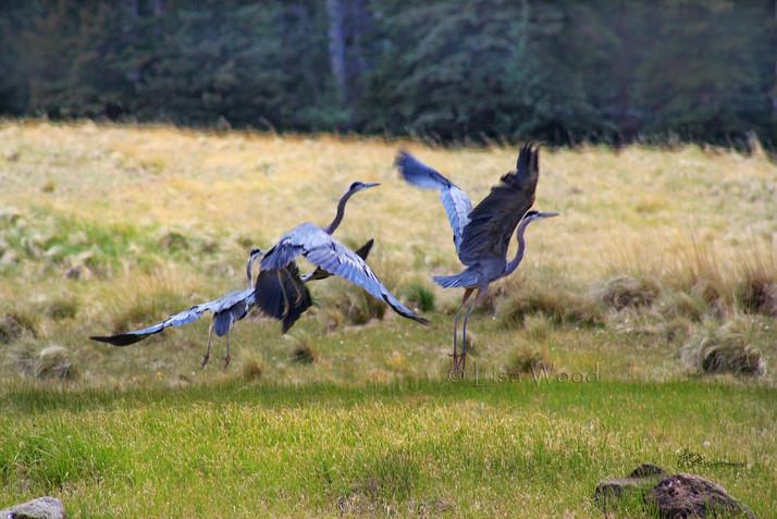 Herons flying cr.jpg