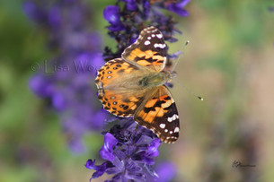 Painted Lady in purple (9) (1024x683) (1