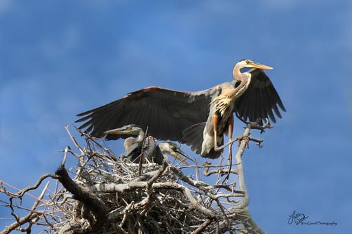 Heron Mom Coming In.jpg