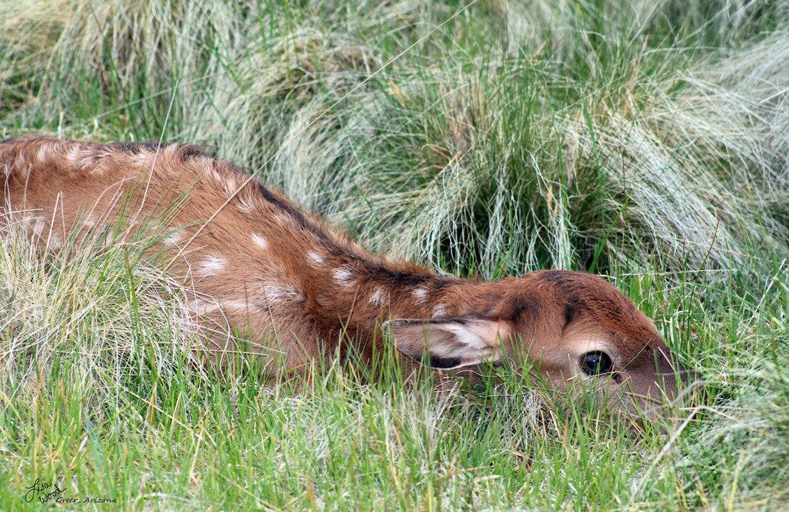 Elk  Newborn (1) sig (2400x1600).jpg