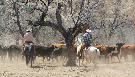 F Herding Cows (8)b cr.jpg