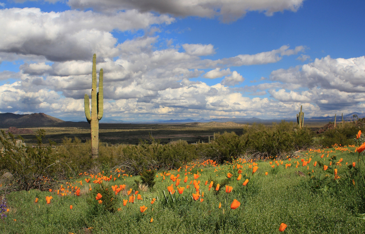 Poppies at Picacho Peak
