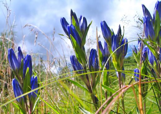 Cobalt Blue Gensing web.jpg