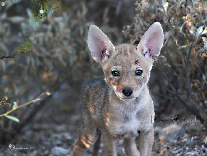 Curious Coyote Pup
