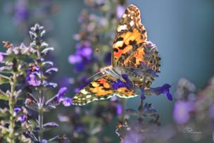 Butterfliew (15)b (1024x683) (1024x683).
