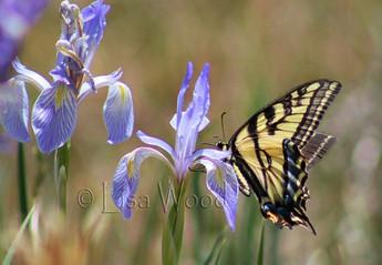 Swallowtail on Irisc cr (1280x888) (1024