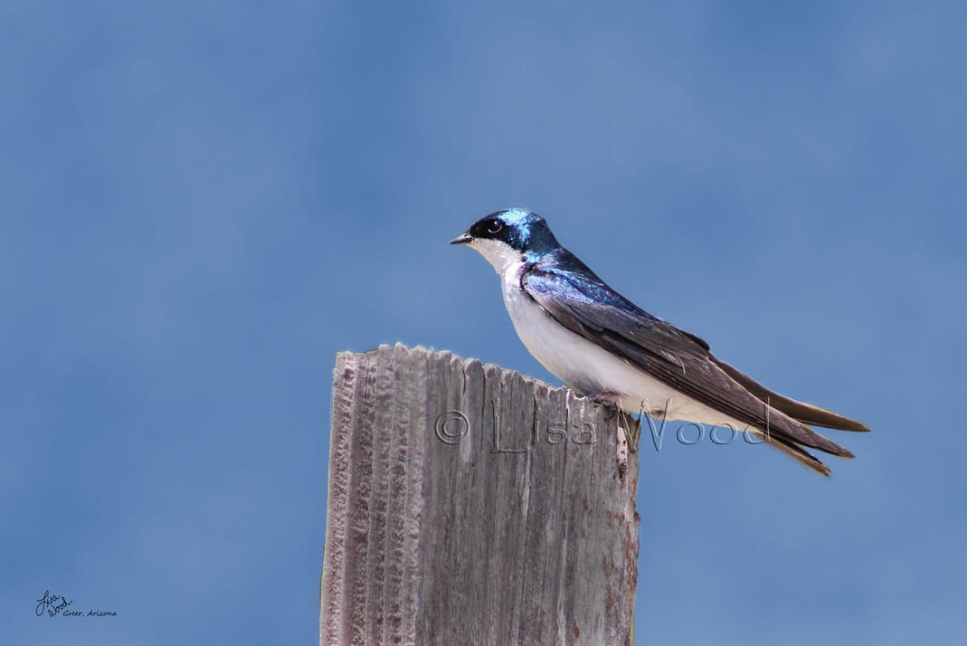 Swallowtail in Blue web.jpg