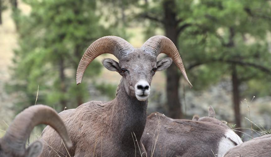 Bighorn Ram King.jpg