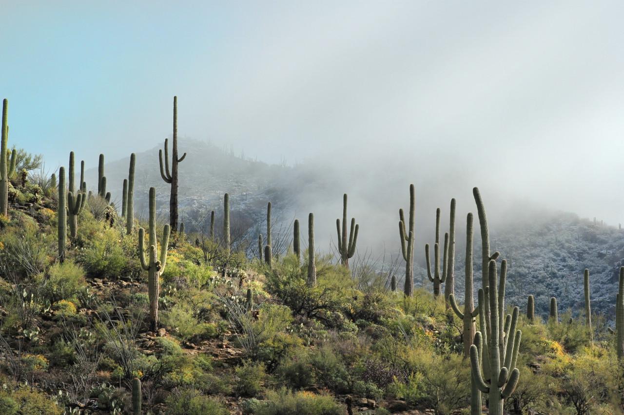 Saguaros in the Mist