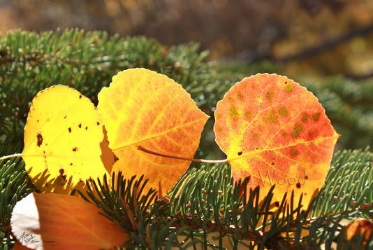 Caught Fall Leaves web.jpg