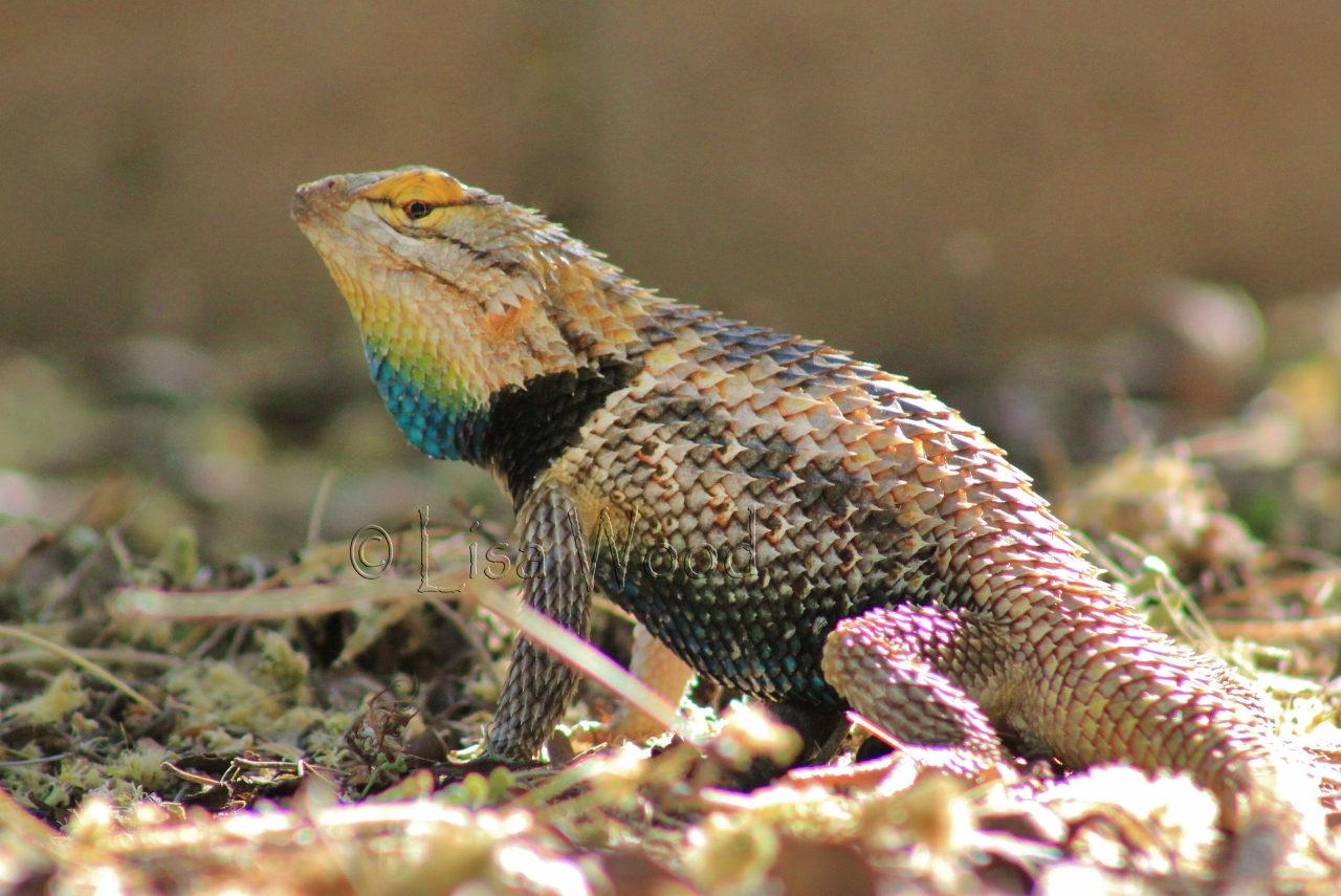 Colorful Collared Lizard