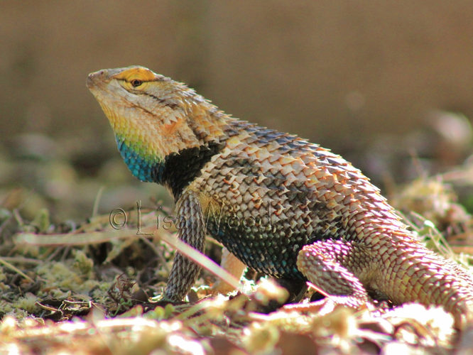 Colorful Collared Lizard