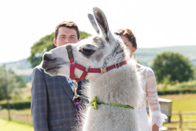 Rustic Lovebirds Photography. Llamas, Donkeys, Alpacas and a Rodeo Bull at the Wellbeing Farm.