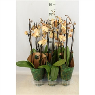 Phalaenopsis Champange