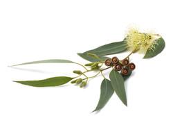 Eucalyptus-cover