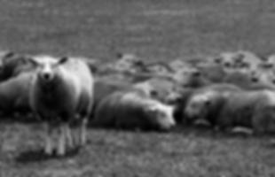 ovelhas.png