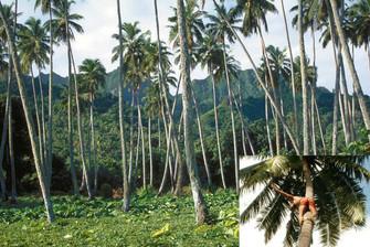 「椰子の木早登り」初の世界大会! クック諸島人優勝