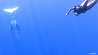 クック諸島で出来ます! ホエールスイム@アイツタキ島