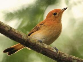 ラロトンガ固有種の鳥ラロトンガフライキャッチャー 絶滅危機を救った物語