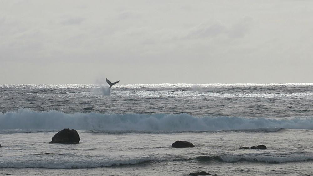クック諸島 ラロトンガ島 海 ザトウクジラ ビーチリゾート