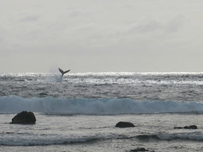ザトウクジラの目撃 国境は閉じても自然は巡る