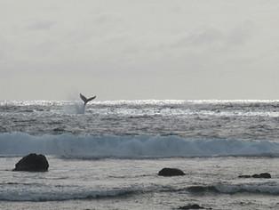 【質問】ザトウクジラを見るベストな時期はいつですか?