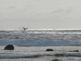 ザトウクジラ  今年はずっと早い到着
