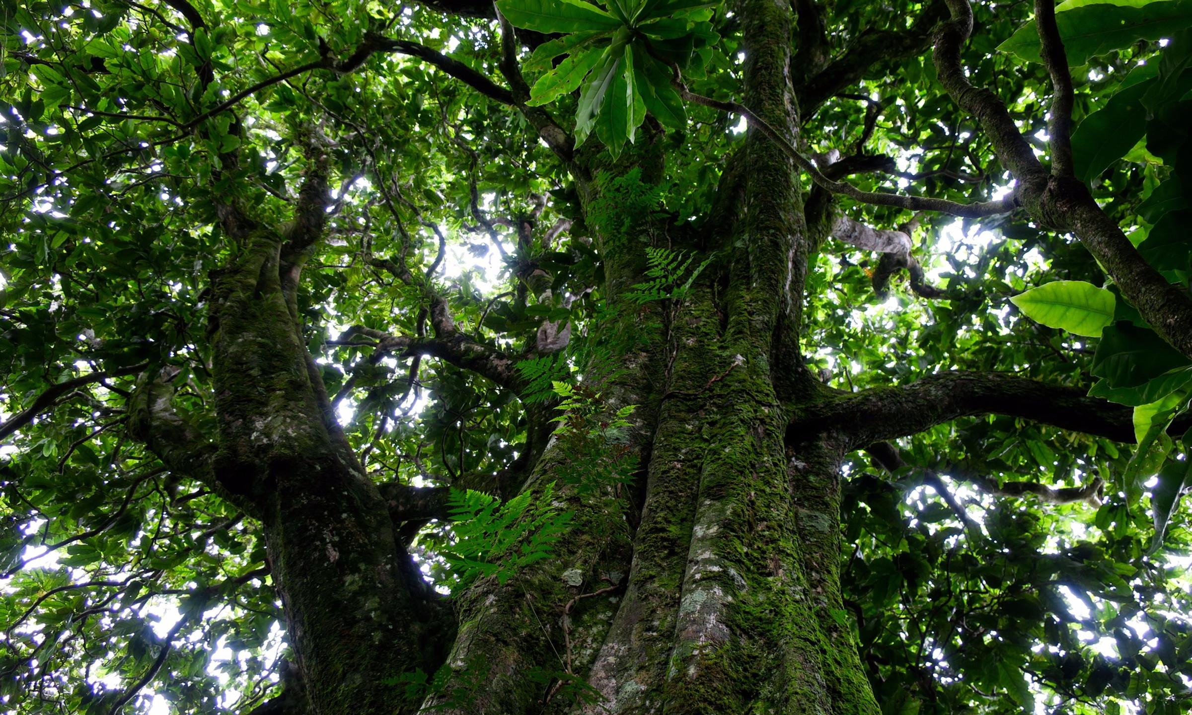cross island trek giant tree 2