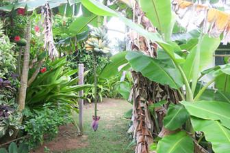 自宅庭にて初のバナナ収穫記念日